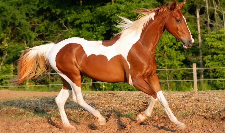 лошадь, пестрая, лошадей, run,