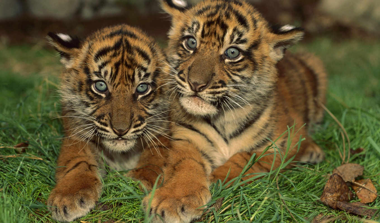 тигрята, котята, два, тигренка, свой, совершенно, тигров, диких,