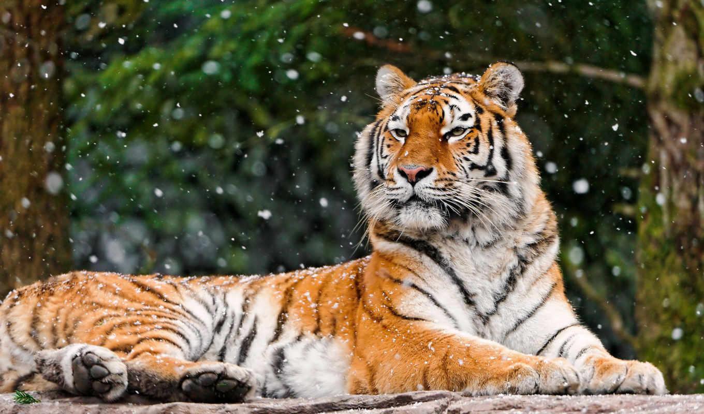 тигр, лежит, тигры, морда,