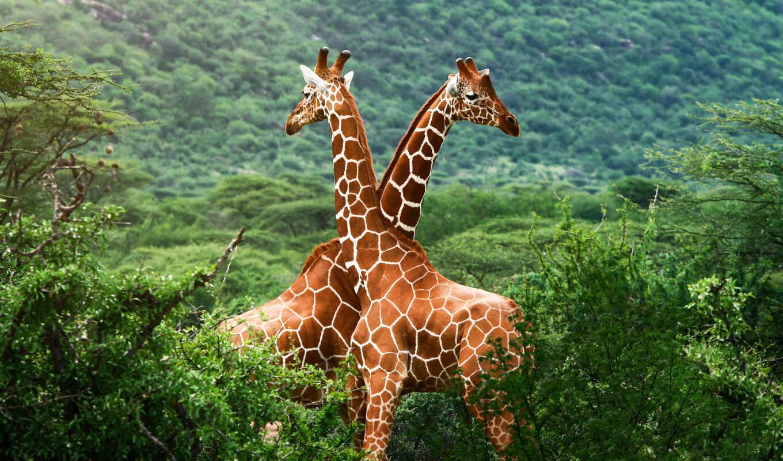 африка, природа, саванна, жирафы, зелёный, zimbabwe,