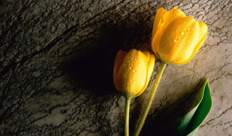тюльпаны, желтые, цветы, fone,