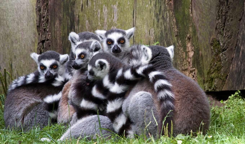 desktop, lemur, mac, природа, animal, uhd, трава, yanni,