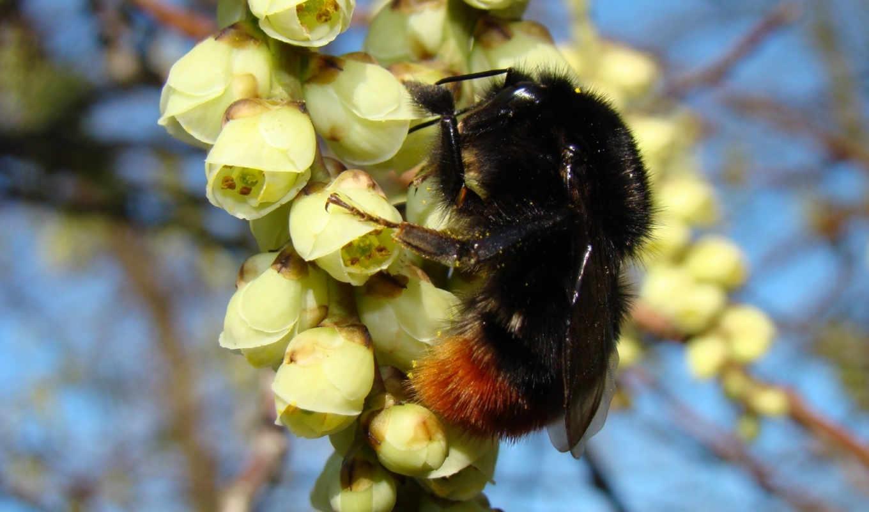 весна, желтые, цветы, пушистый, насекомое, шмель,