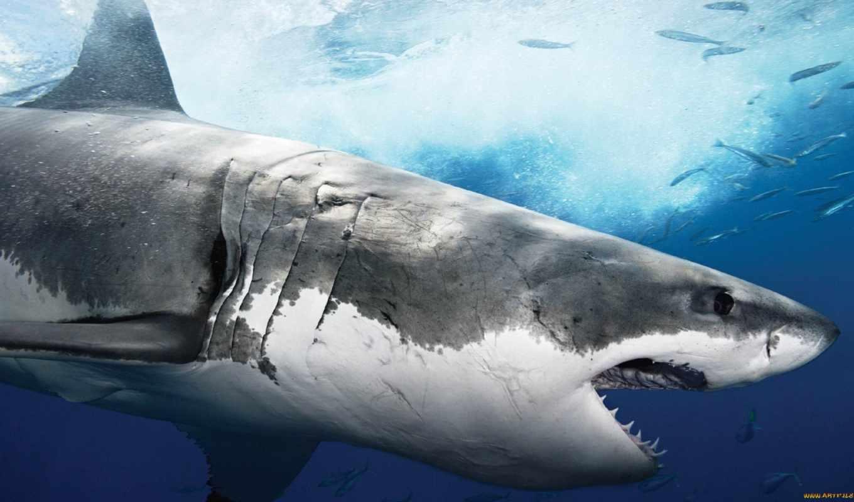 акула, белая, акулы, её, голодный, этот, человека, чтобы, хищник, нападений, свою, поймать, воды, добычу, выпрыгивающая, фатальны,