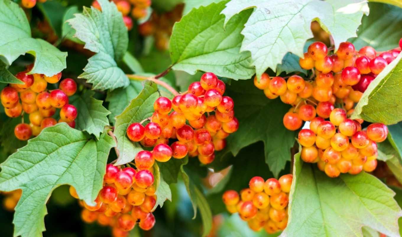 калина, плод, seedless, красная, ягод, лесу,