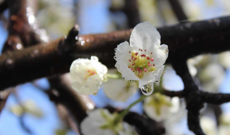 цветы, белые, pictures, груша, white,