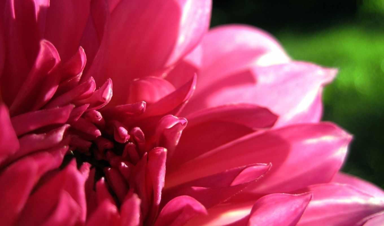 dahlia, лепестки, розовый, макро, цветы, янв, цветочные,