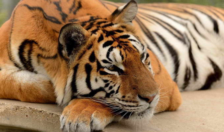 тигр, лапа, кот, высоком, you, miracle,