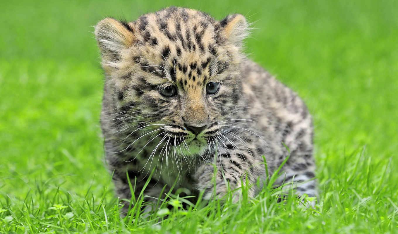 zhivotnye, леопарды, картинку, leopards, молодой, широкоформатные, леопардов, фишки,
