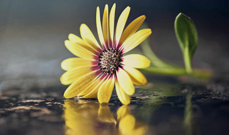makryi, цветы, бутон, mouse, роза, лепесток, lily, георгина
