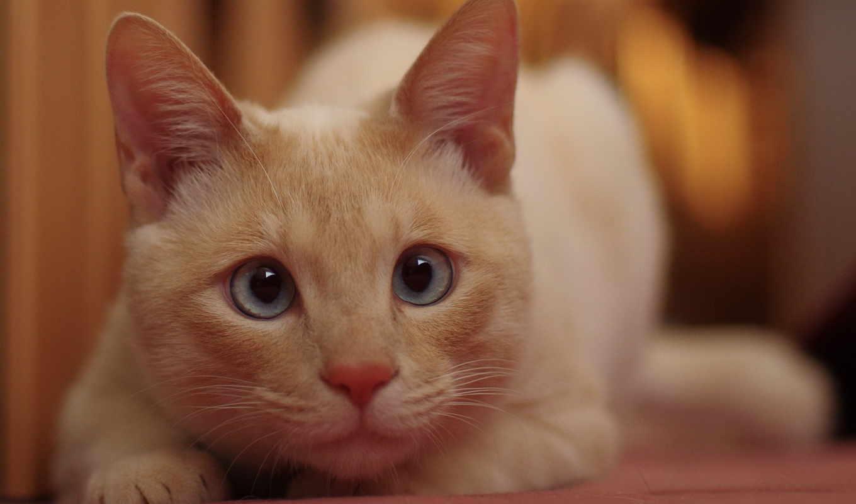 kot, рыжий, голубыми, глазами, изображения, категория, zhivotnye, кого, увидел,