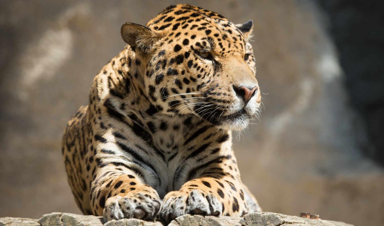 jaguar, кот, отдых,