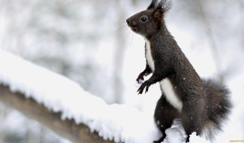 белки, zhivotnye, черная, снег, зверек, белки, яndex, lodge, her,