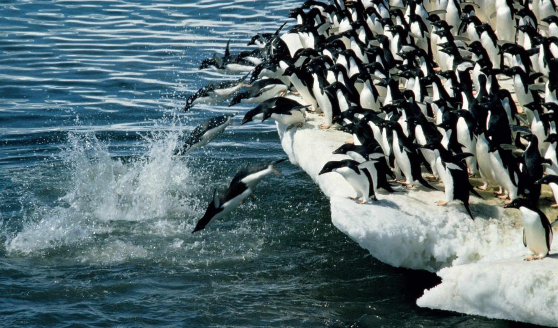 penguins, пингвины, adelie, животные, õæìø¼, вода, птицы, antarctic,