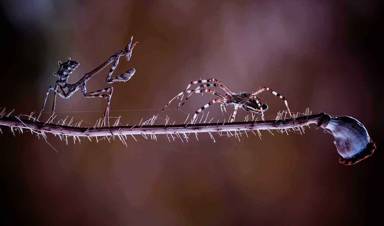 богомол, паук, схватка, просмотреть, ветка, битва, насекомые, встреча,