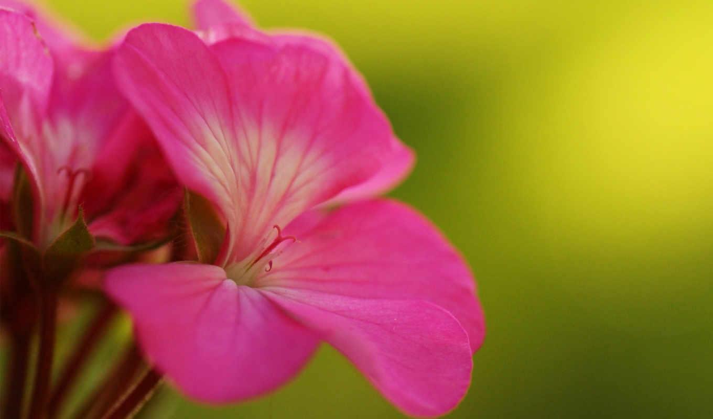 цветки, герань, соцветие,