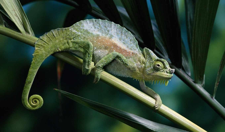 хамелеон, животные, chameleon,