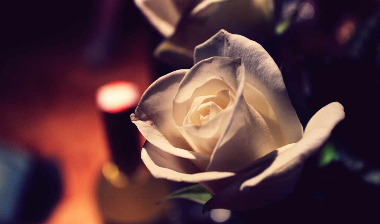 cvety, розы, роза, цветы, белая, букет, красивые, макро,