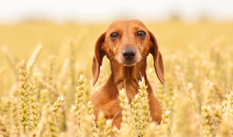 jamnik, krótkowłosy, pies, tapety, pulpit, krotkowlosy, jakości, darmowe, wysokiej,