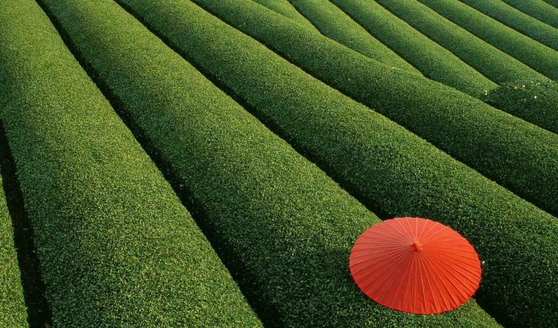 japanese, природа, ферма, красивый, зонтик, лист, bush, фото, зелёный, rural, warm