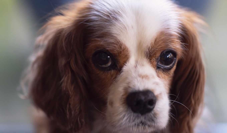 собака, mobile, submit, категория, pic, spaniel