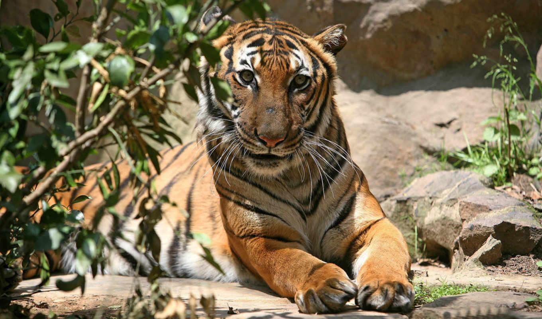 тигры, животные,