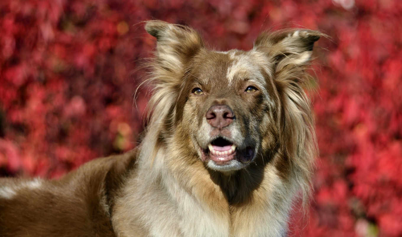 dogs, уход, soup, австралийская, овчарка, содержание, dark, animales, red,