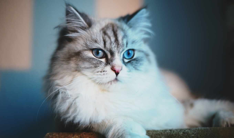 кот, пушистый, котенок, kit,