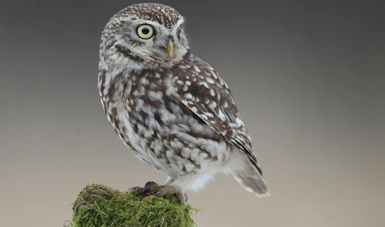 ,сова, серый, lodge, птица, кружка, совёнок,