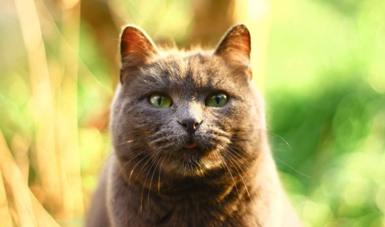 серый, кот, блики, ус,