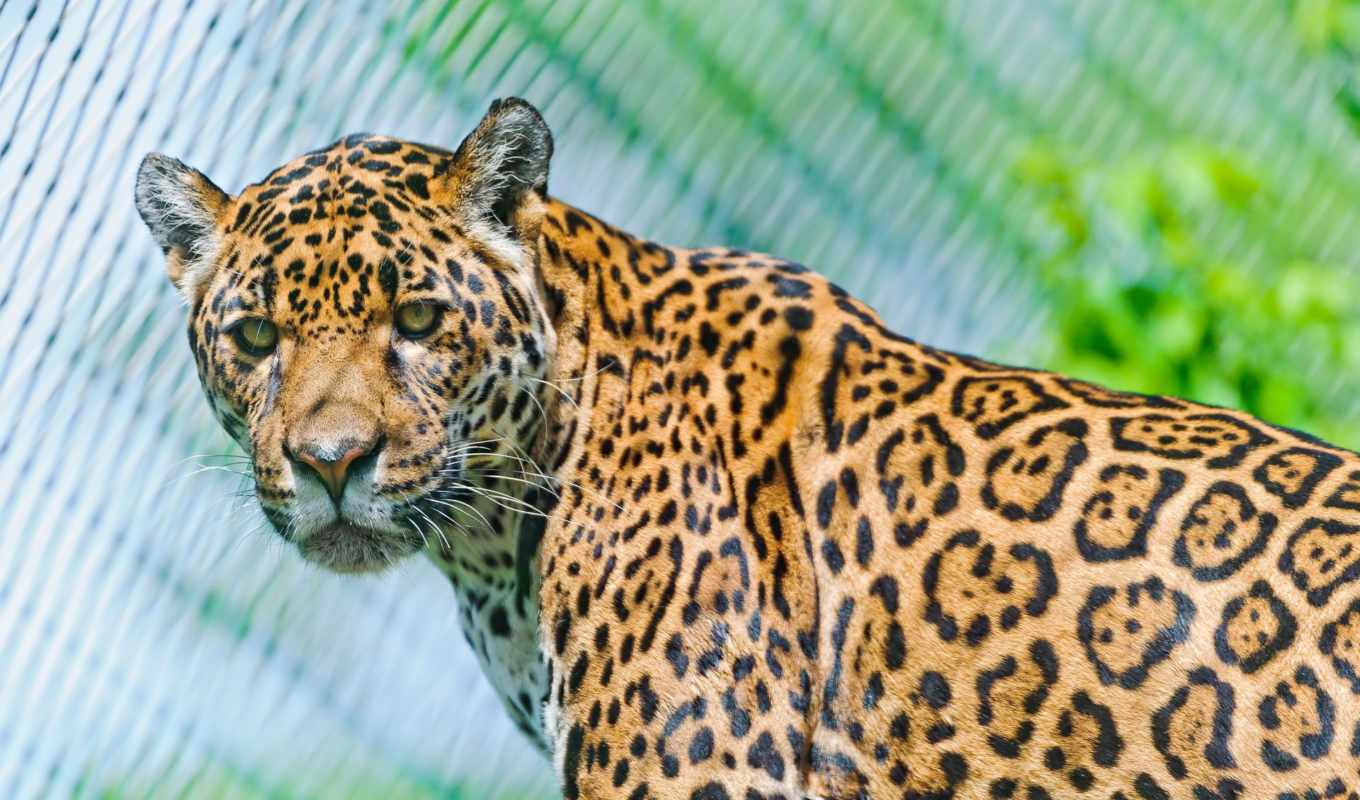 jaguar, animal, desktop, animals, best, любой,