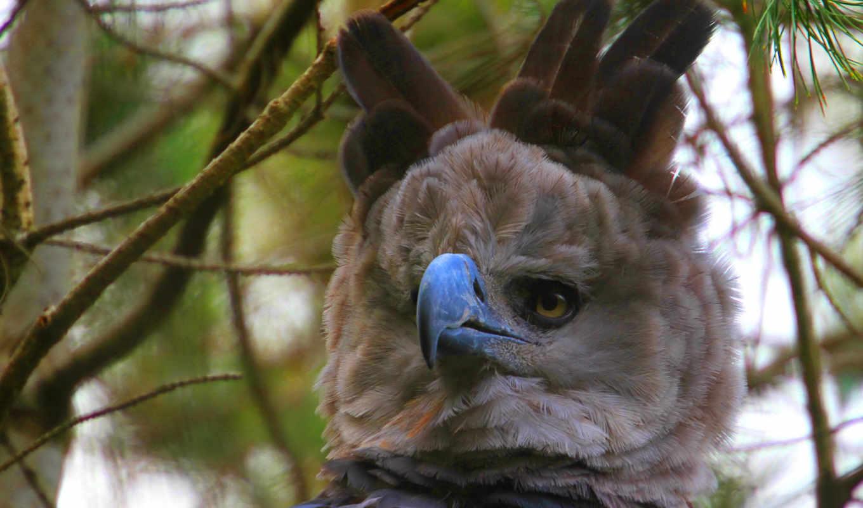 орлан, harpy, desktop, изображение, world,