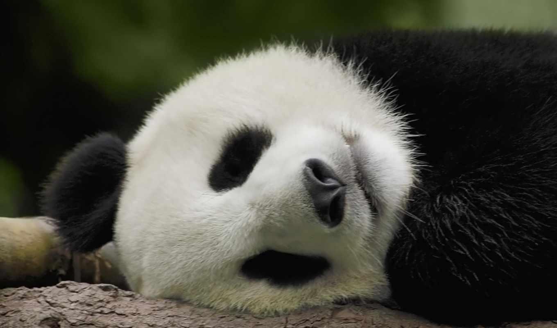 панда, панды, фото, animal, не, западе, китая, нов