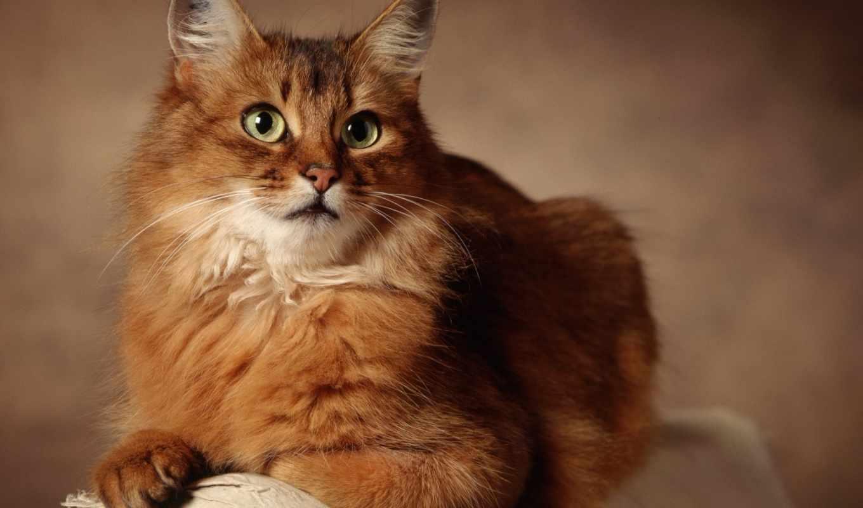 рыжий, kot, glaza, лежит, кошки,