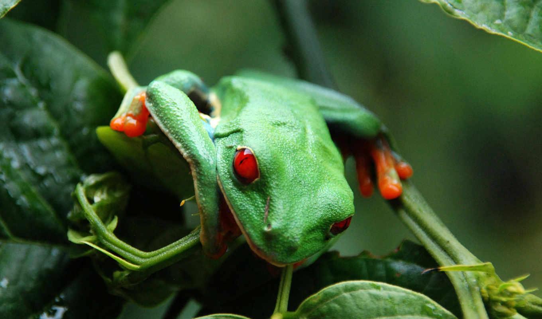 лягушки,  haiku, зеленый, красный, глаза