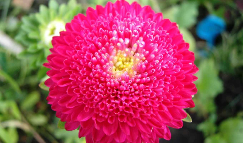 wallpaper, flowers, wallpapers, pink, hd, flower, chrysanthemums, chrysanthemum, macro, nice, chrysantheme, chrizantema, desktop, красивый, tapetai, цветок,