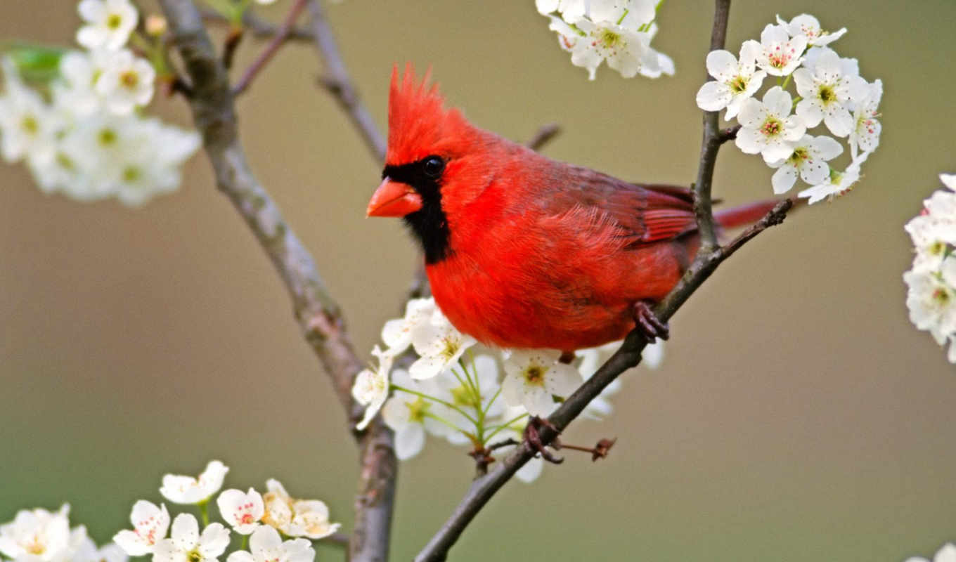 you, full, red, posts, picture, birds, bird, sale, master, northern, when, blossoms, lumien, animais,