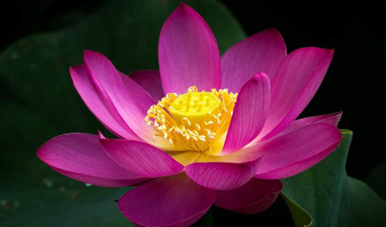 , кувшинки,, lotus, пруд, парки, розовый, природа, water,