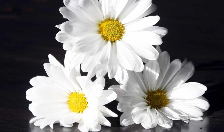 ,цветы,ромашки,