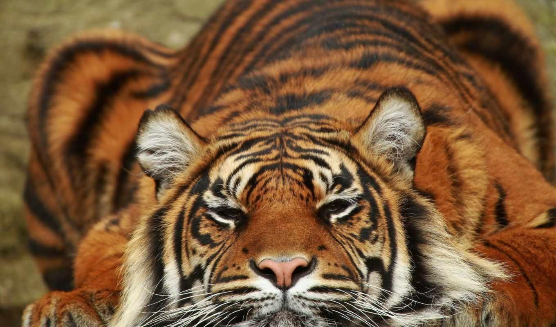 тигр, за, животные, мои, любимые, wolves,
