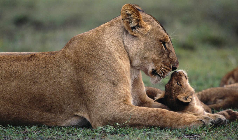 львица, львенок, browse, детёныш, забота,