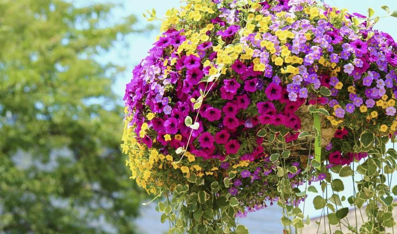 петунии, petunia, цветы,