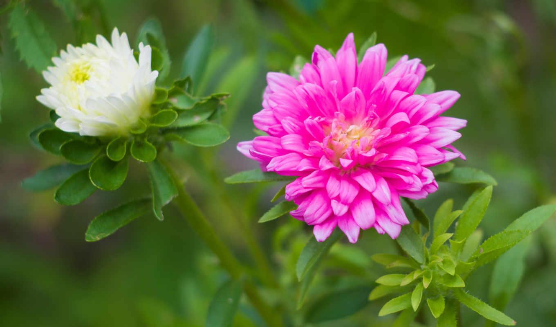 цветы, астры, дивные,