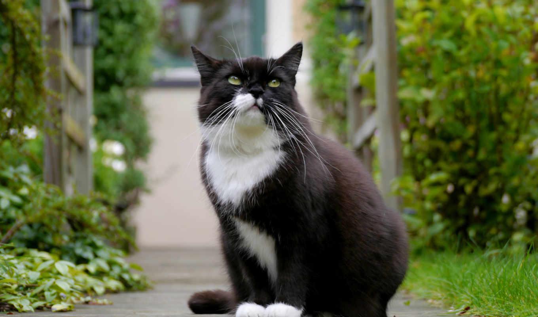 кот, black, чёрно, белой, white, кошки, грудкой, дорожке, садовой, красивые, смотрит,