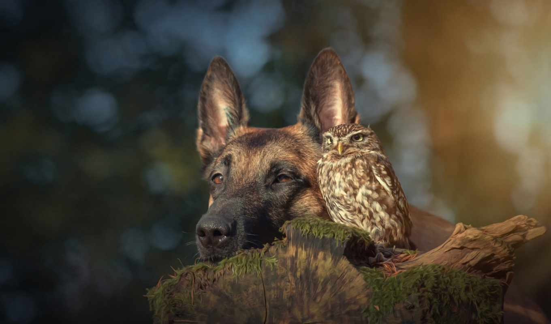 сова, собака, дружба, овчарка, zhivotnye, природа, german,