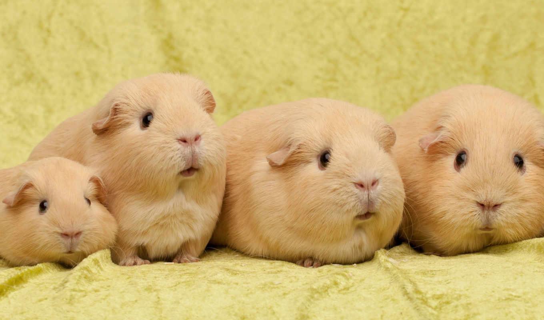 морские, свинки, морская, свинка, взгляд, zhivotnye, many, морских, свинок,