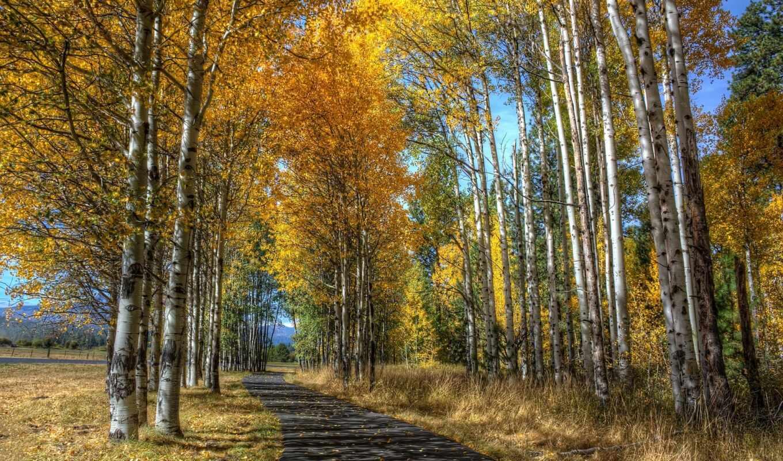 осень, дорога, aspen, дерево