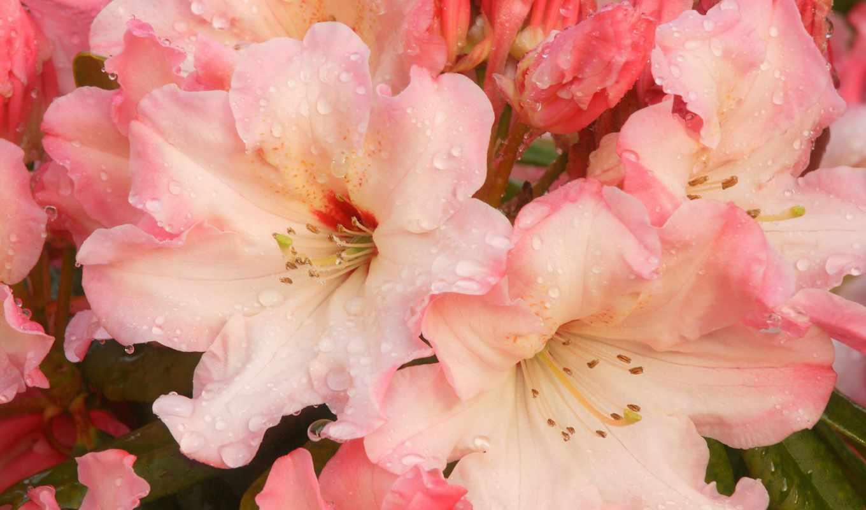 рододендрон, cvety, цветущий,