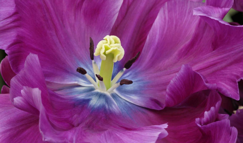тюльпаны, фиолетовые, тюльпан, цветы,