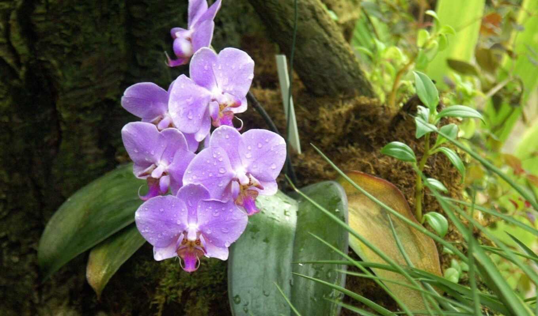 орхидея, цветы, лес, фаленопсис, лист, сиреневый, drop, красавица